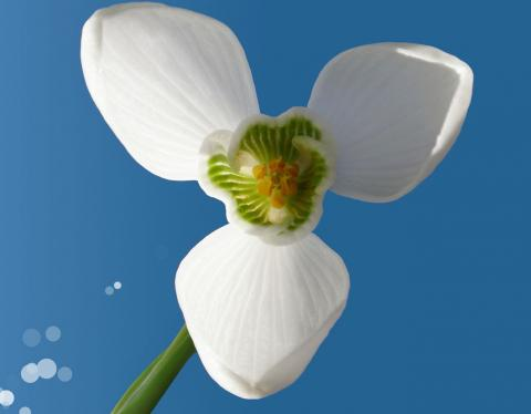 Белый цветок подснежника фото