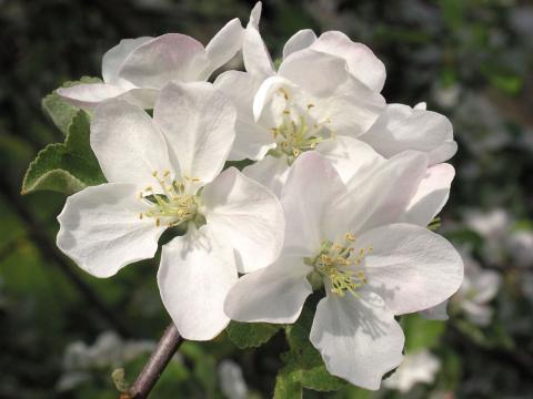Убранство яблонь любят сравнивать со свадебным нарядом, таким же изящным и воздушным