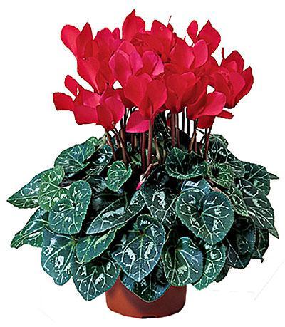 Фото цветок Цикламен (Cyclamen)