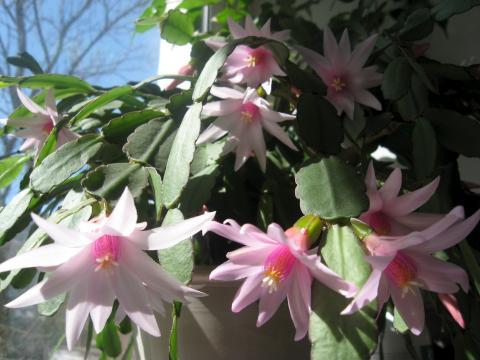 Декабрист цветок - обои на рабочий стол