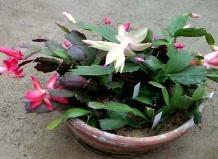 Фото цветок Декабрист (Рождественник, Шлюмбергера (Schlumbergera), Зигокактус)