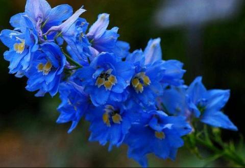 Фото цветок Дельфиниум (живокость, шпорник, Delphinium)