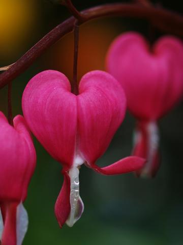 "Фото цветок Дицентра, или ""разбитое сердце"" (Dicentra)"