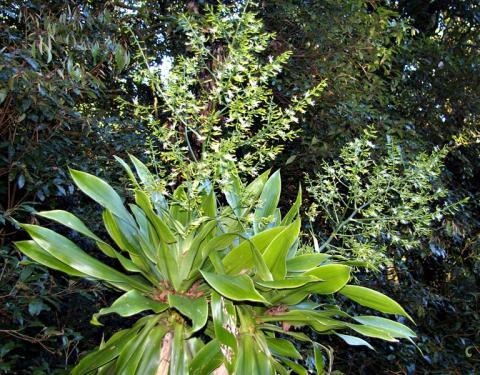 Фото цветок Драцена (Dracaena)