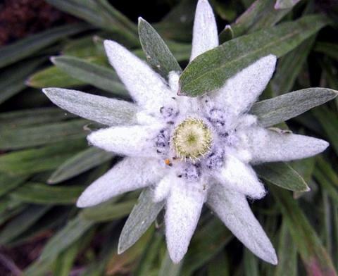 Фото цветок Эдельвейс (Edelweiss)