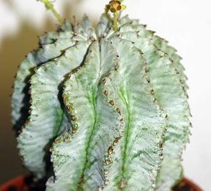 Фото цветок Молочай (Euphorbia)