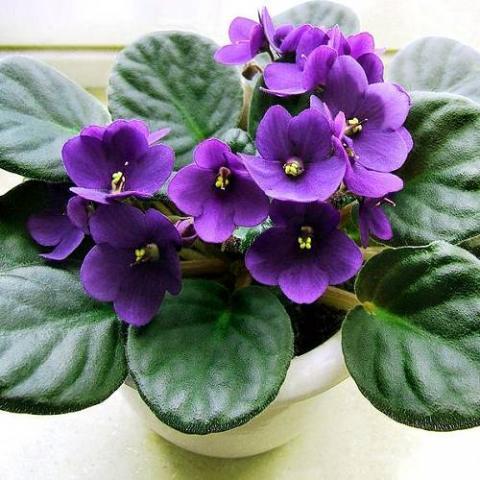 Фото цветок Фиалка узамбарская (Сенполия — Saintpaulia)