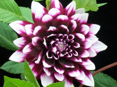 Фото цветок Георгин (Dahlia)