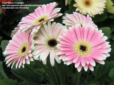 Фото цветок Гербера (Gerbera)