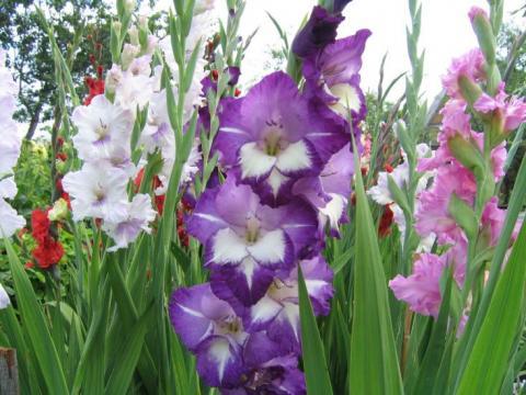 Фото цветок Гладиолус (Gladíolus)
