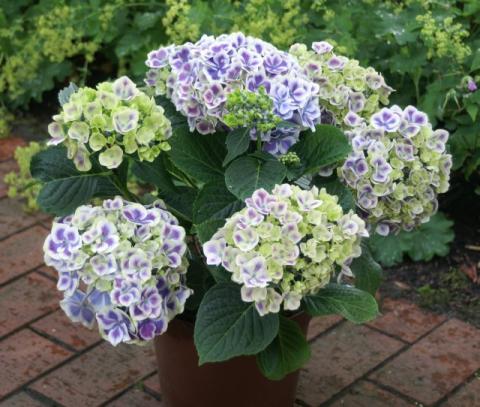 Фото цветок Гортензия (Hydrangea)
