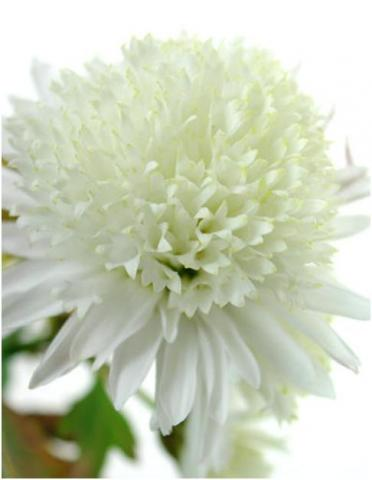 Фото цветок Хризантема (Chrysanthemum)