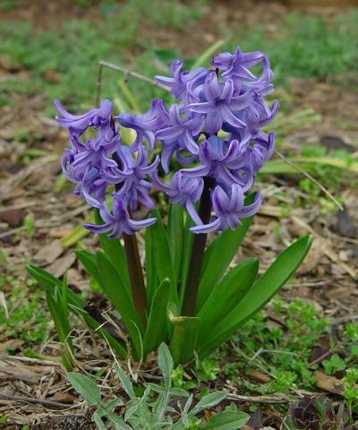 Фото цветок Гиацинт (Hyacinthus)