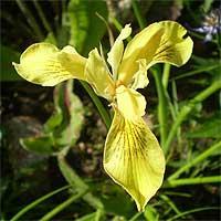 Фото цветок Ирис желтый, или Касатик (IRIS)