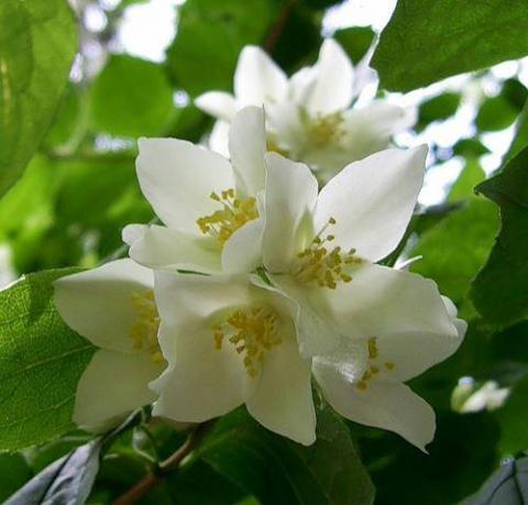 Фото цветок Жасмин (Jasminum) белый