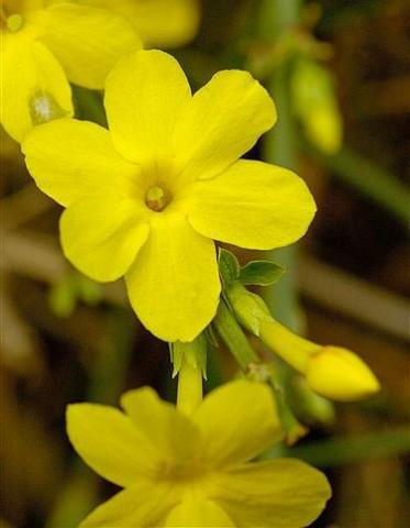 Фото цветок Жасмин (Jasminum)