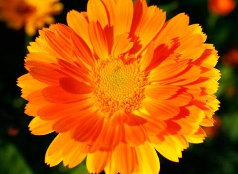 Фото цветок Календула или Ноготки (Calendula)