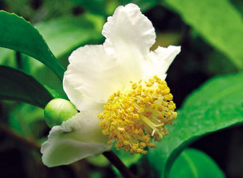 Фото цветок Камелия (Camellia) белая