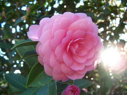 Фото цветок Камелия (Camellia) розовая