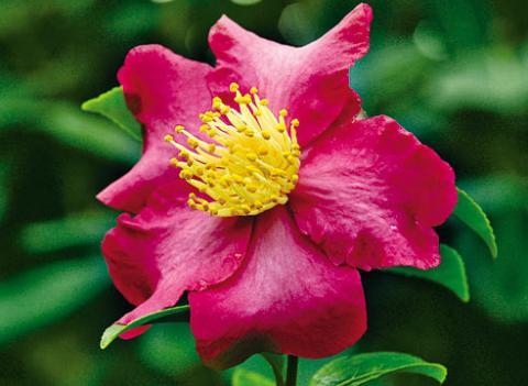 Фото цветок Камелия (Camellia) красная