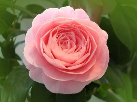 Фото цветок Камелия (Camellia)