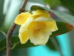 Фото цветок Камелия (Camellia) желтая