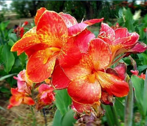 Фото цветок Канна (Canna)