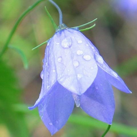 Фото цветок Колокольчик или Кампанула (Campanula)