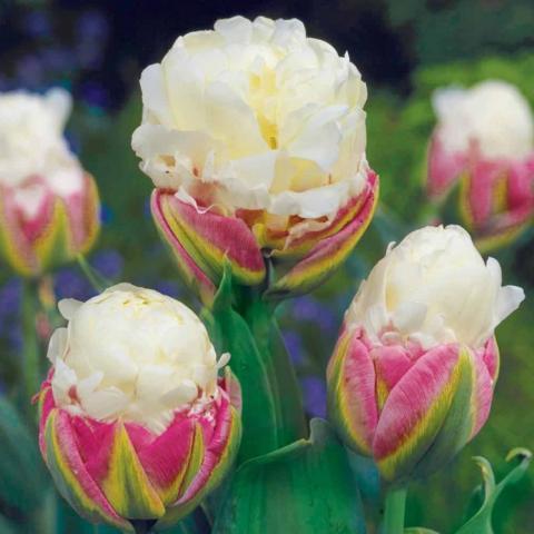 """Тюльпаны  с нежным названием """"Мороженое"""""""
