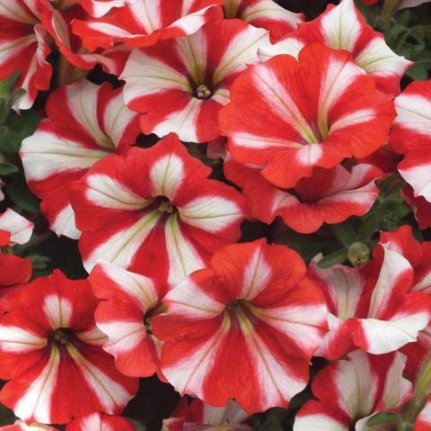Полосатые красные с белым цветы петунии