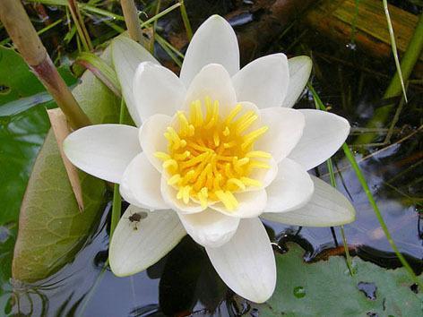 Фото цветок Кувшинка (водяная лилия, нимфея, лат. Nymphaéa)