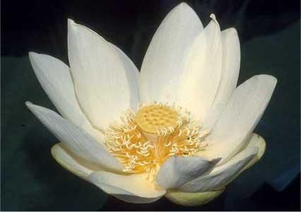 Фото цветок Лотос (Nelumbo) белый