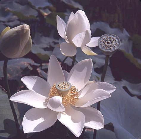 Фото цветок Лотос (Nelumbo)