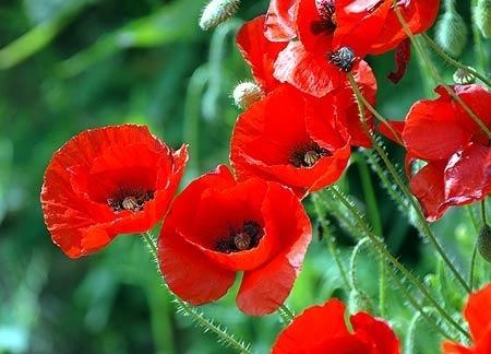 Фото цветок Мак (лат. Papaver)