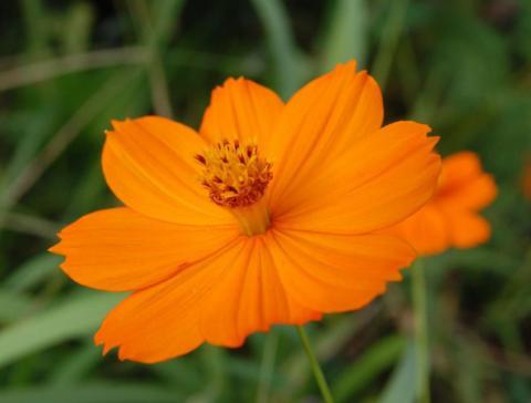 оранжевая космея