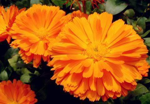 Оранжевые ноготки, календула лекарственная