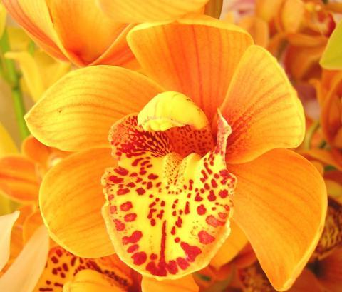 Картинка с самой непостоянной, изменчивой и прекрасной подданной царицы Флоры - бесподобной орхидеей