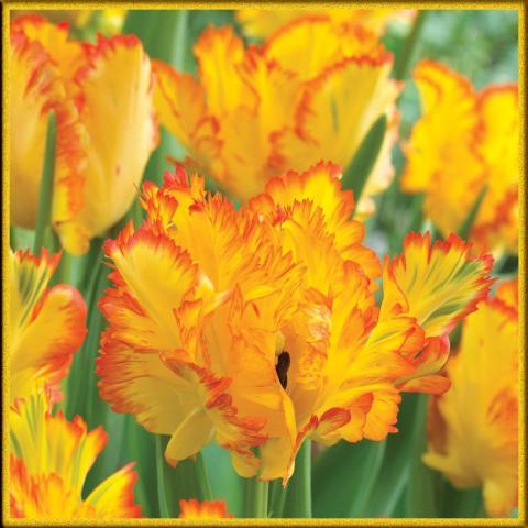 Оранжевый махровый тюльпан