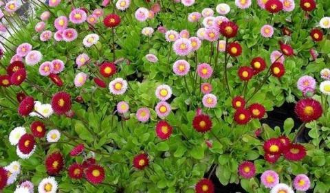 Фото цветок Маргаритка (Bellis perennis)