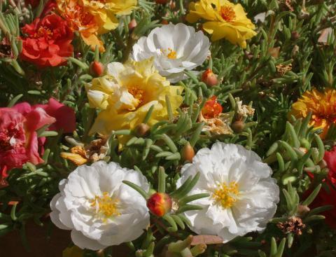 Фото цветок Портулак (Portulaca)