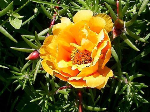 цветок портулак желтый фото