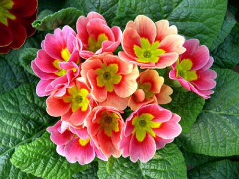 Фото цветок Примула (Primula)