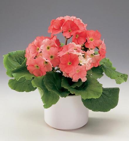 Фото цветок Примула (Primula) комнатная