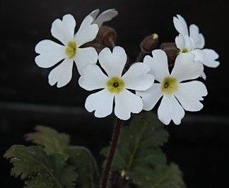 Примула китайская (Primula chinensis) фото