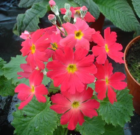 Примула мягкая, или мягколистная (Primula malacoides)  фото