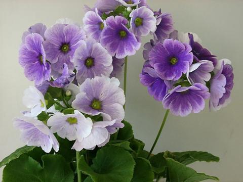 Примула обконика, обратноконическая (Primula obconica)