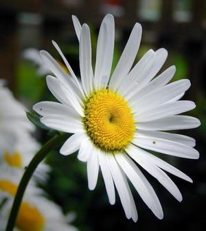 Фото цветок Ромашка аптечная