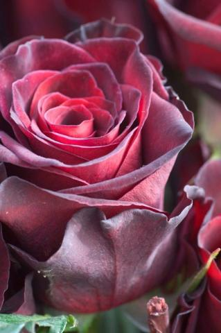 Роза пурпурная фото