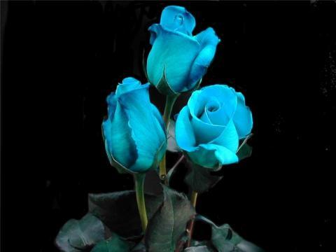 Роза синяя фото