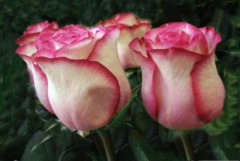 Роза розовая фото